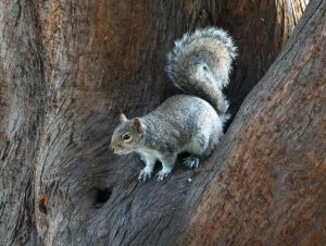 Grey Squirrel contraception: latest news on research